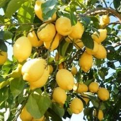 Enterdonat Limon