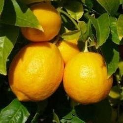 Yediveren Limon Fidanı