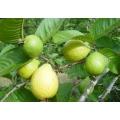 Armut Guava